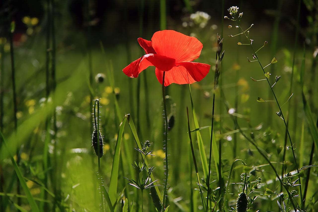 poppy-3137588_1280.jpg