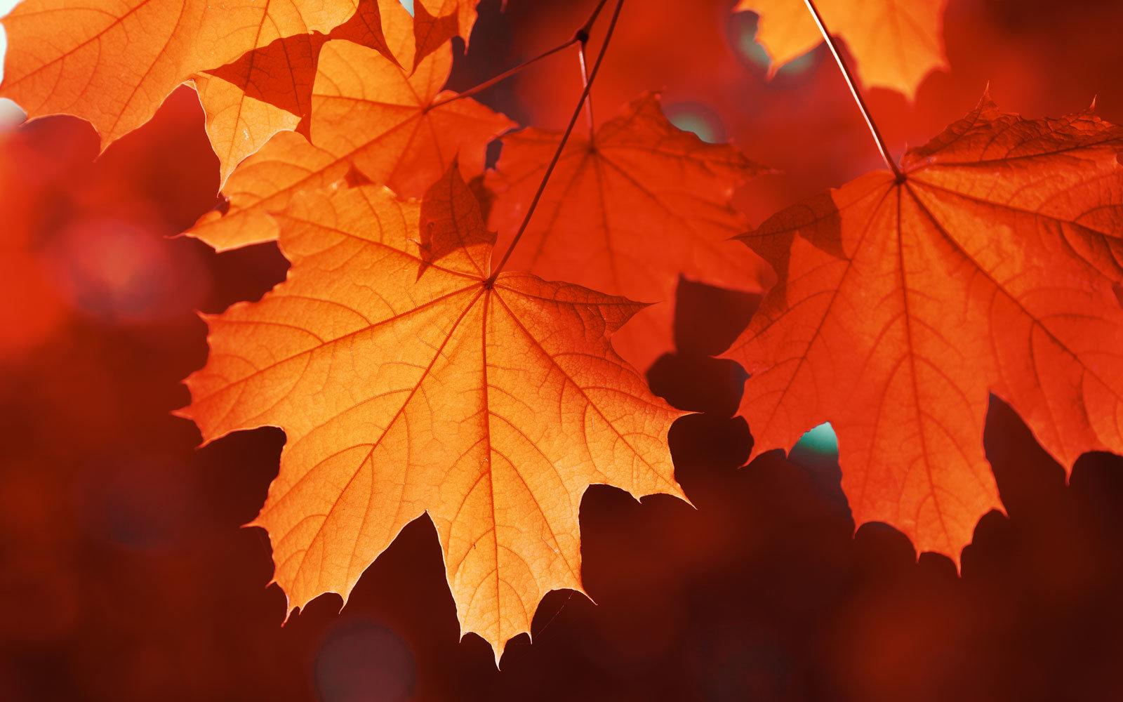 colorful-fall-leaves-SELLLEAVES1017.jpg