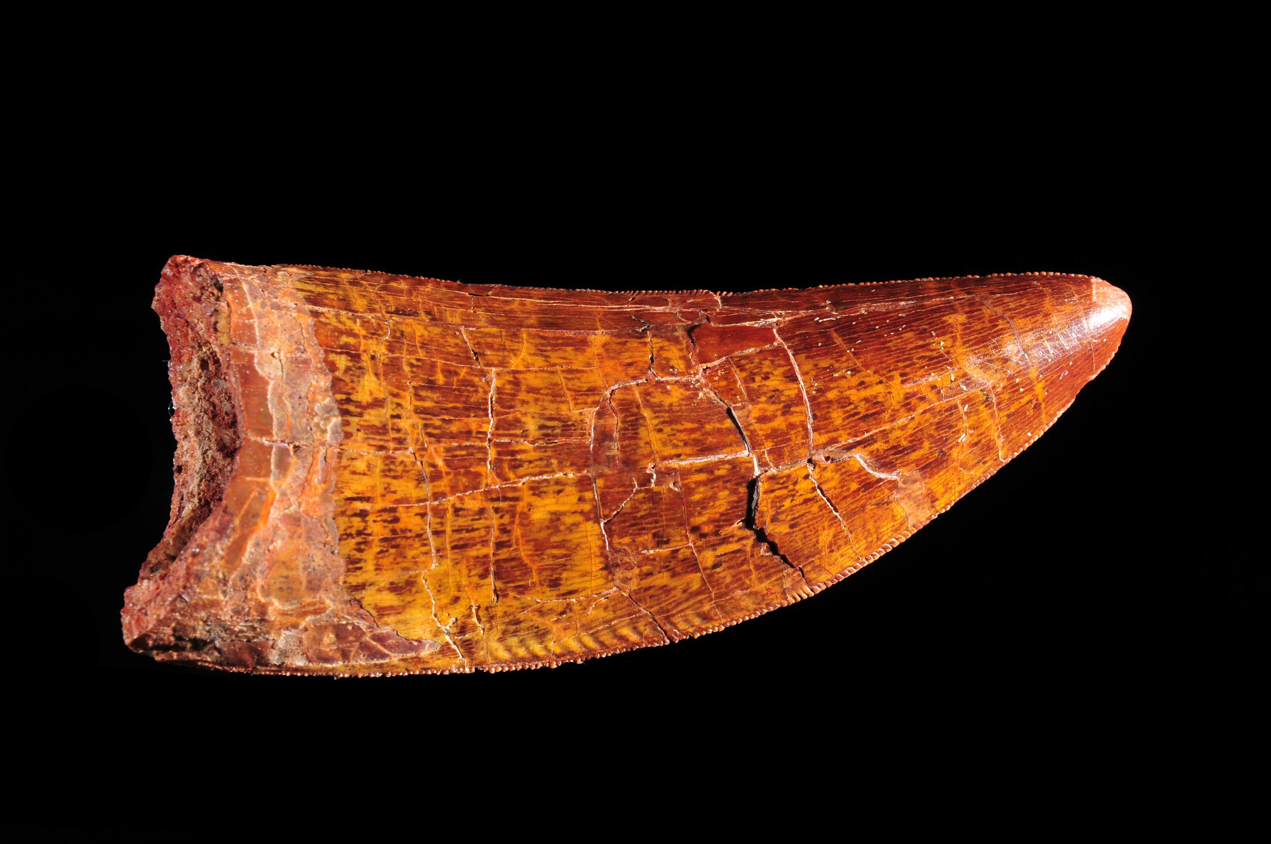 Carcharodontosaurus fossil tooth