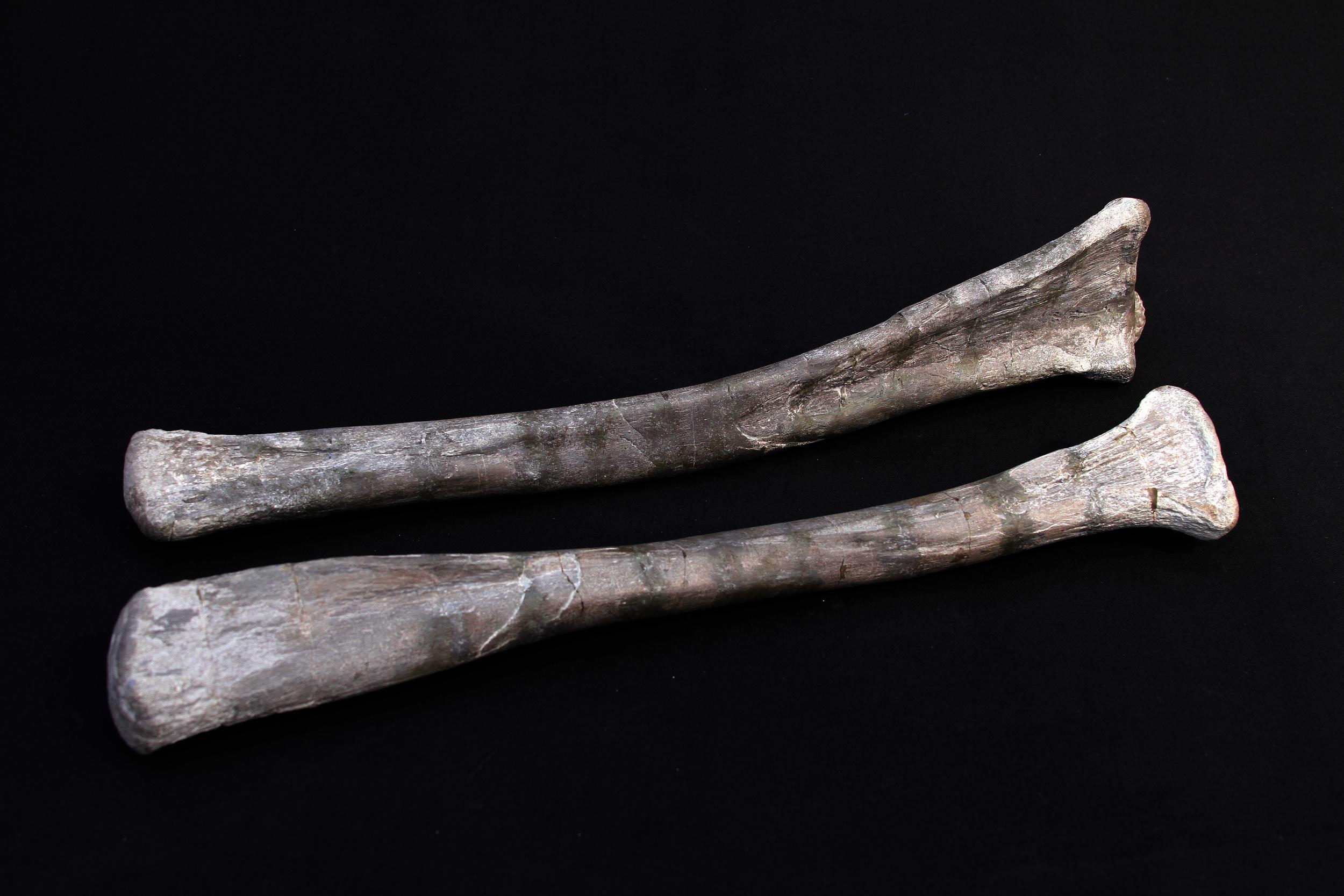 Hadrosaur radius and ulna