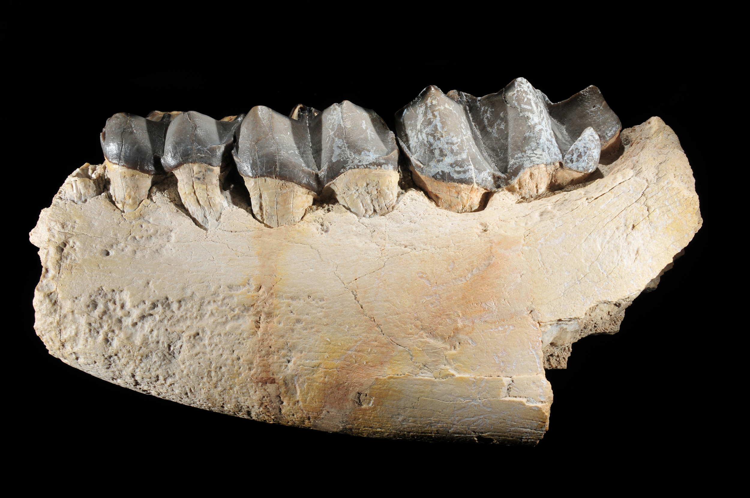 Titanothere jaw section