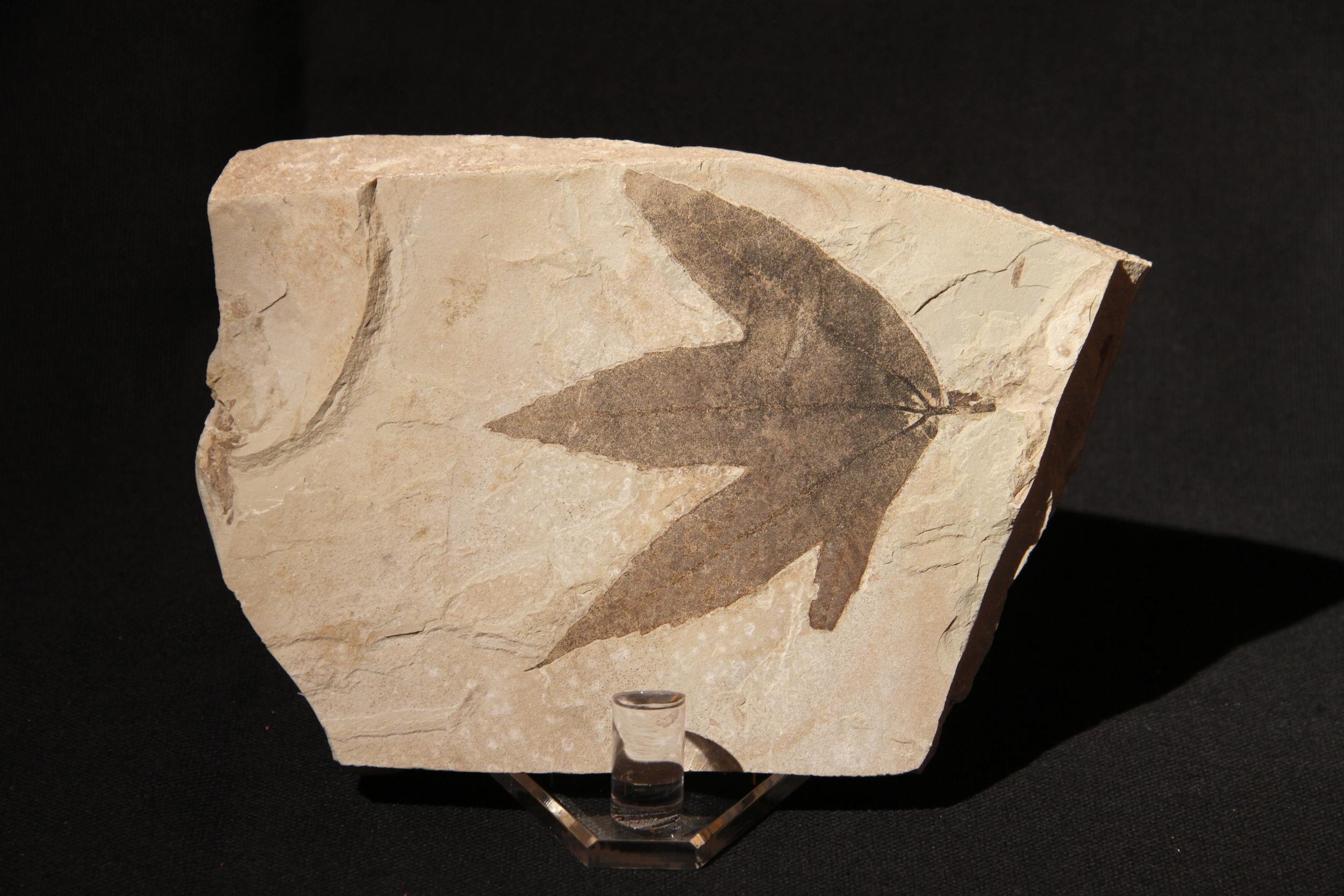 Green River fossil leaf