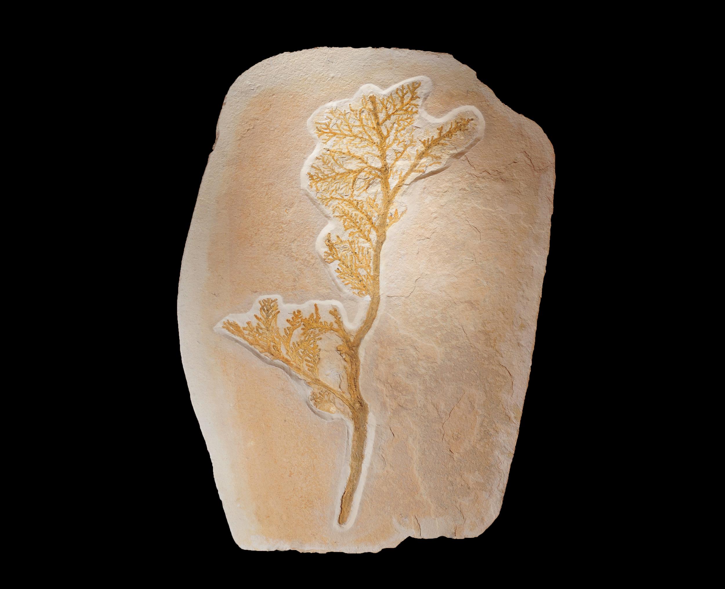 Brachiophylum (large)