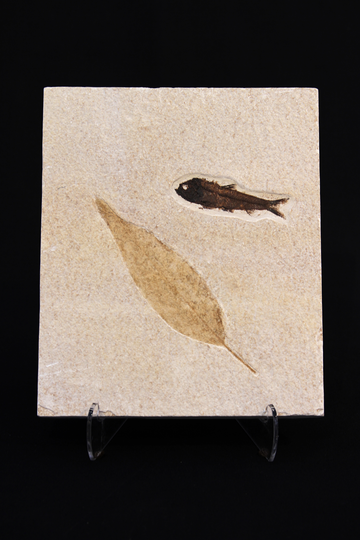 Green River fossil fish and leaf