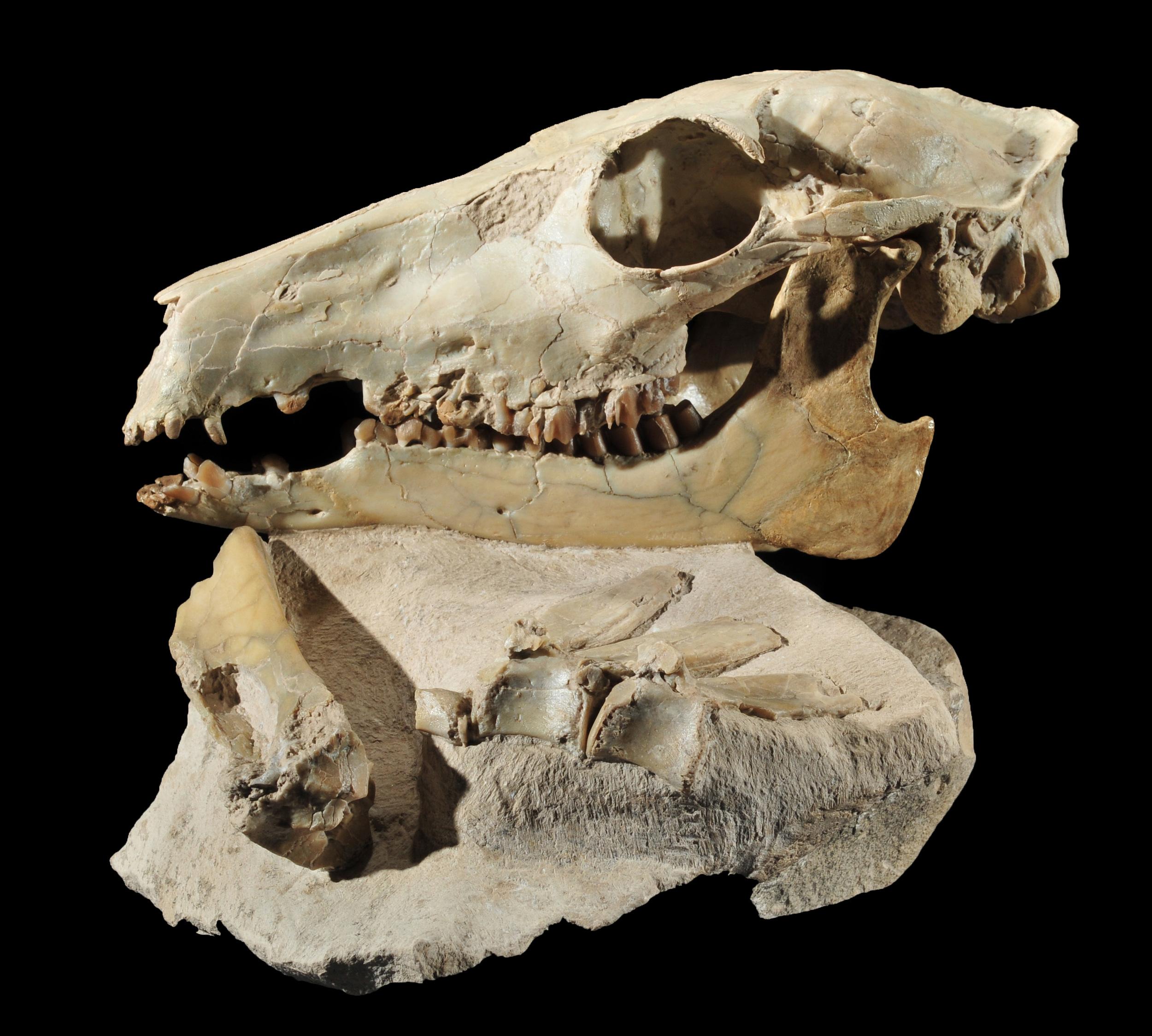 Poebrotherium camel skull