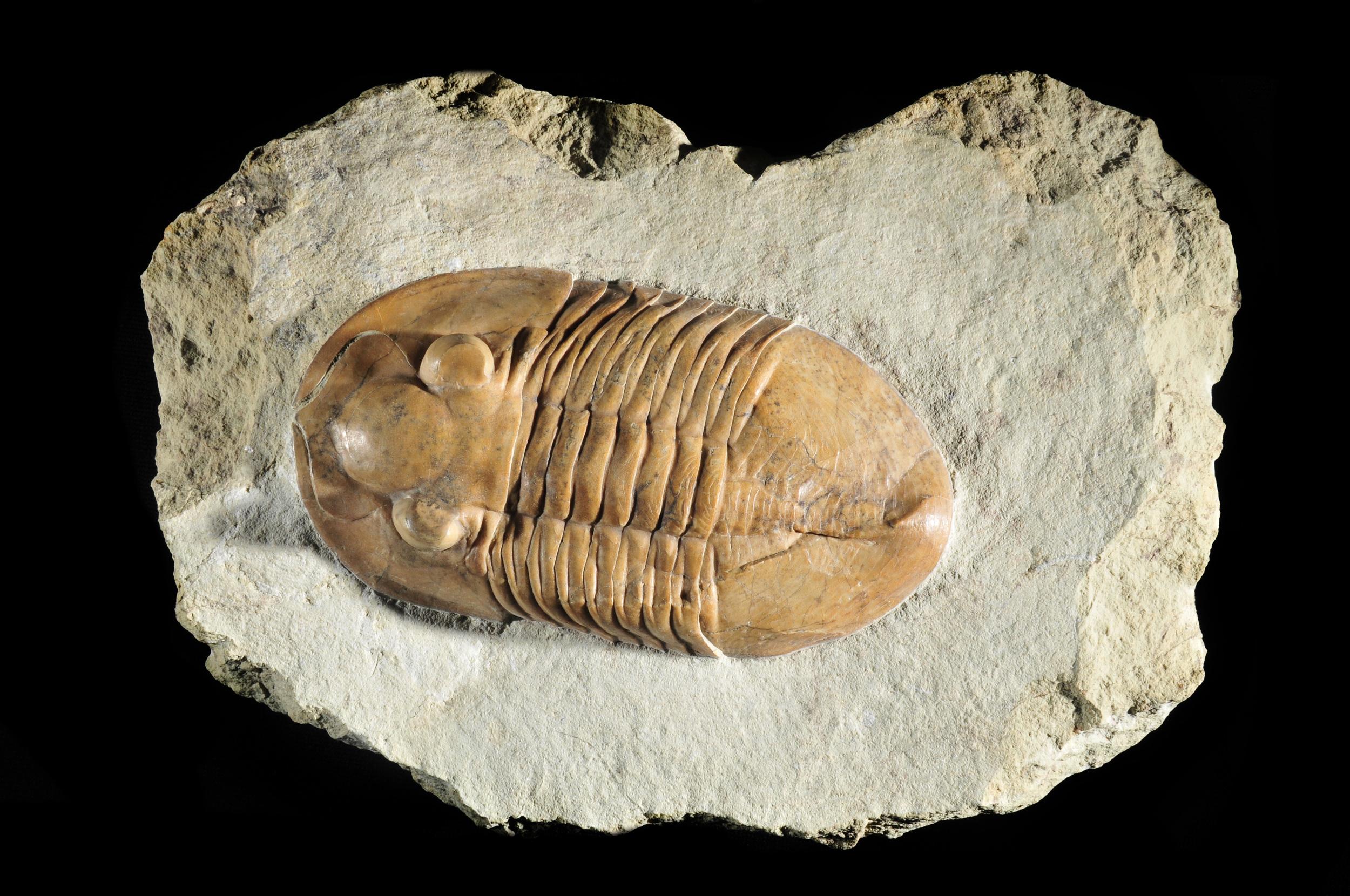 Asaphus trilobite