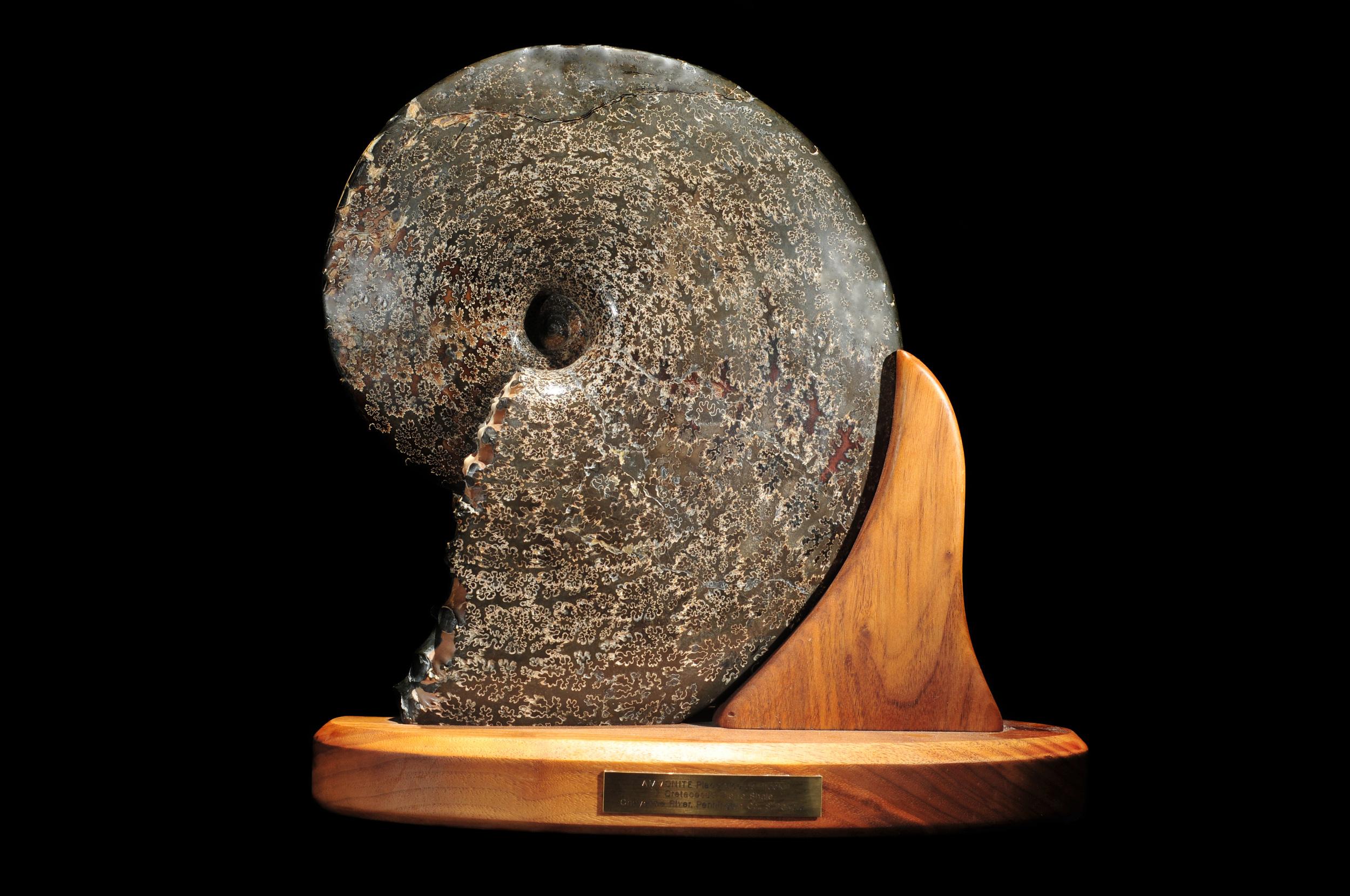 Sutured Ammonite