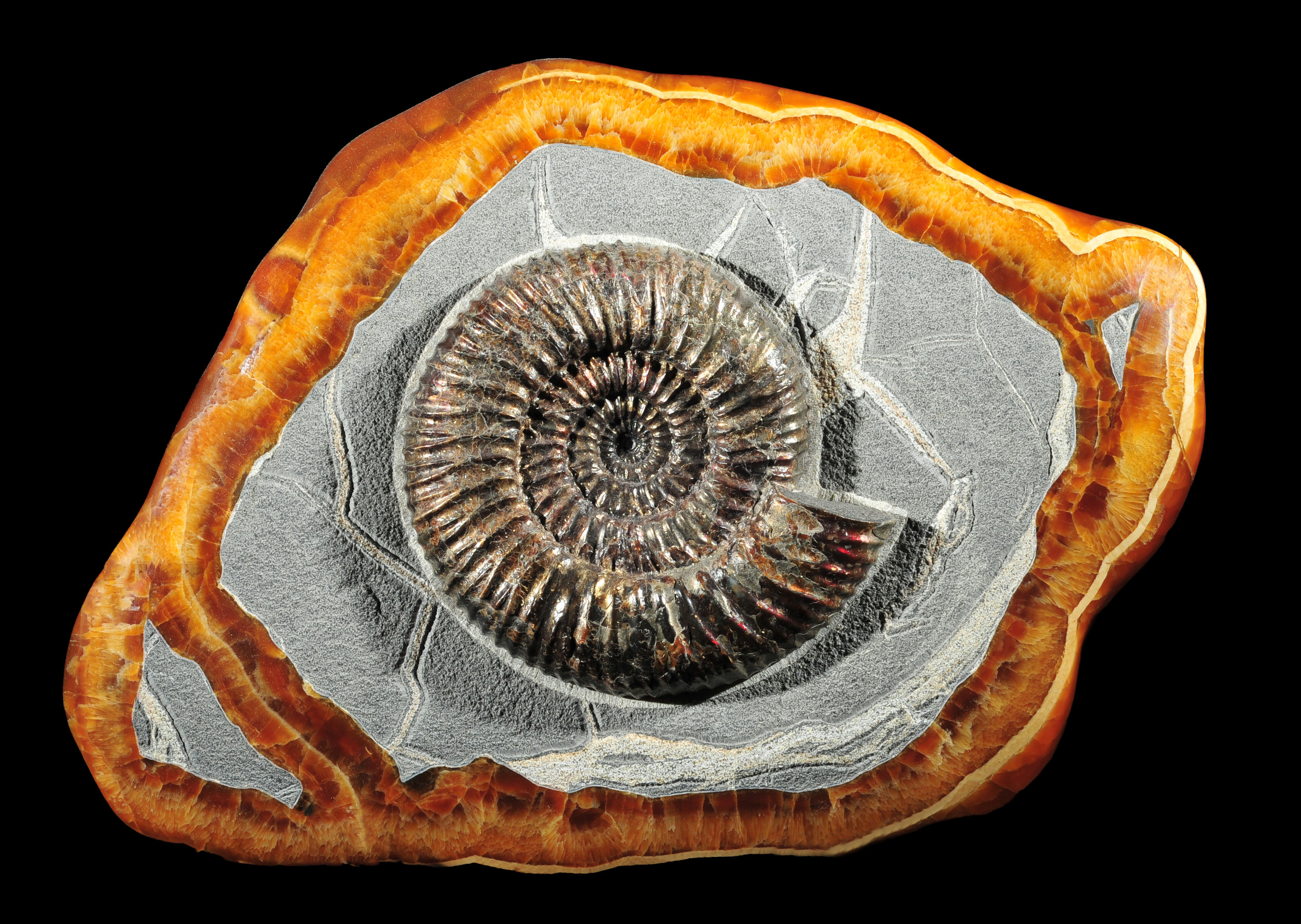 Pyritized Ammonite in Septerian