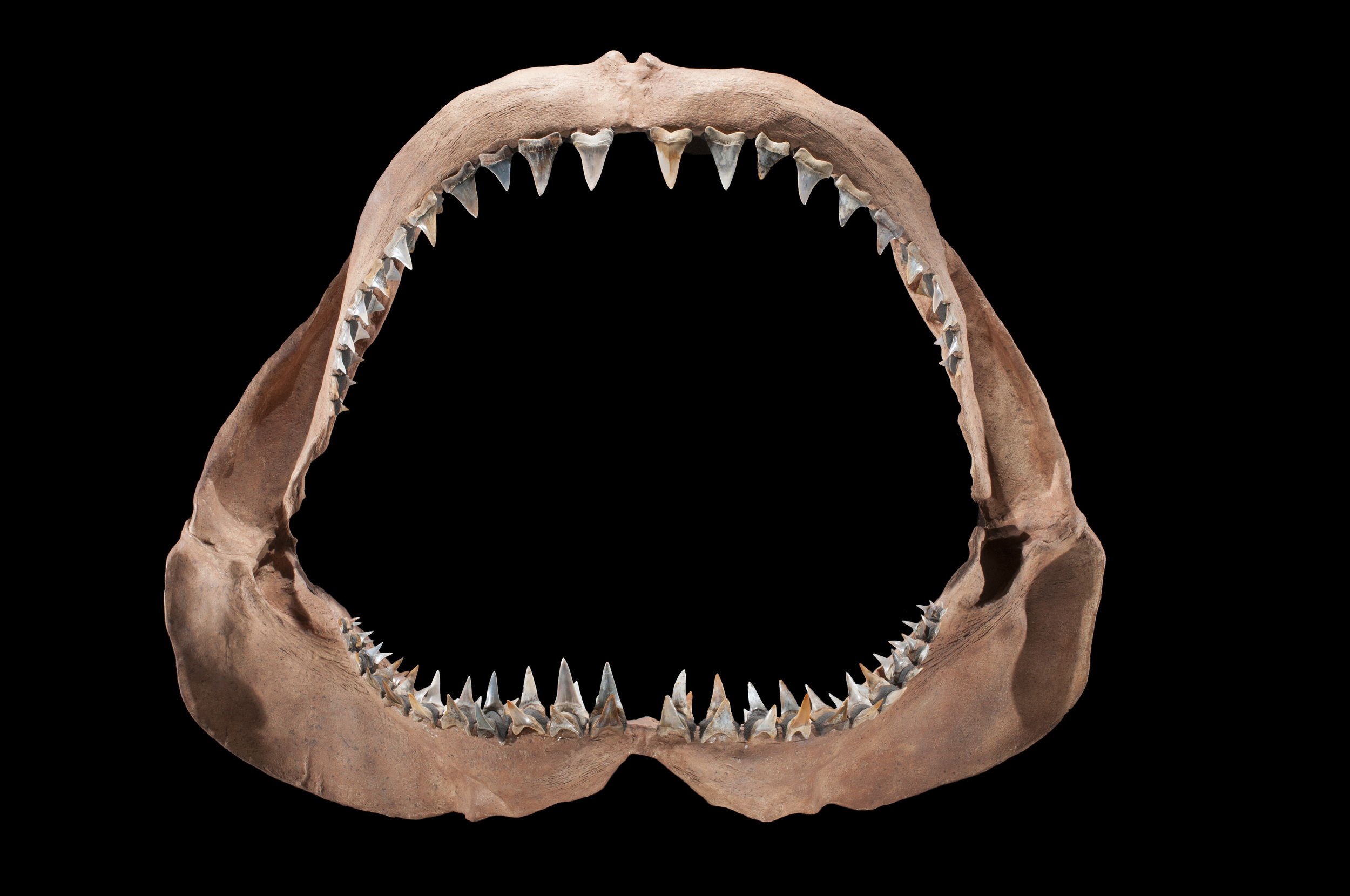 Prehistoric Mako Jaw