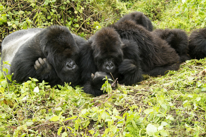 Wild and rare   Gorilla Tracking    View Trip