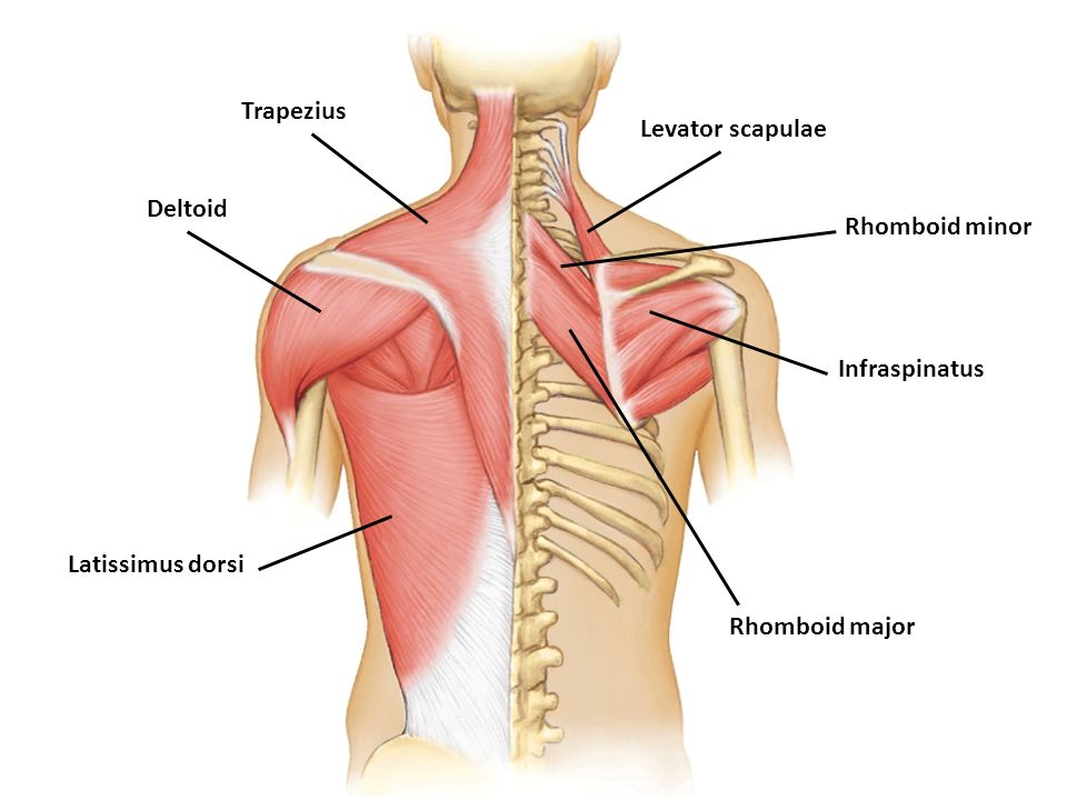 Layer 2: levator scapula, rhomboid major, & rhomboid minor- all seen on the right side. they are directly below the trapezius muscle.