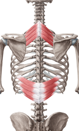 Layer 3: These muscles are the Serratus posterior superior, which are near the top ribs and the serratus posterior inferior, which are located along the lower ribs.