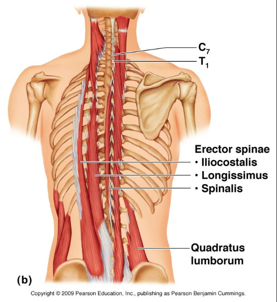 5th layer: erector spinalis muscles which include the iliocostalis, longissimus, & spinalis muscles
