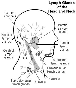 figure 1 This shows the lymph nodes in the neck. the cervical lymph nodes drain bad toxins from the ear canal. the dark gray overtop is where the sternocleidomastoid (scm) is located.
