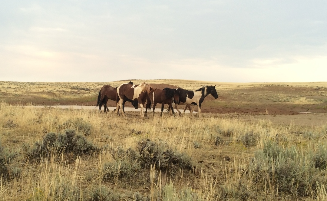 First-hand herd observation in theMcCullough Peaks Herd Management Area, Powell, WY 2014.