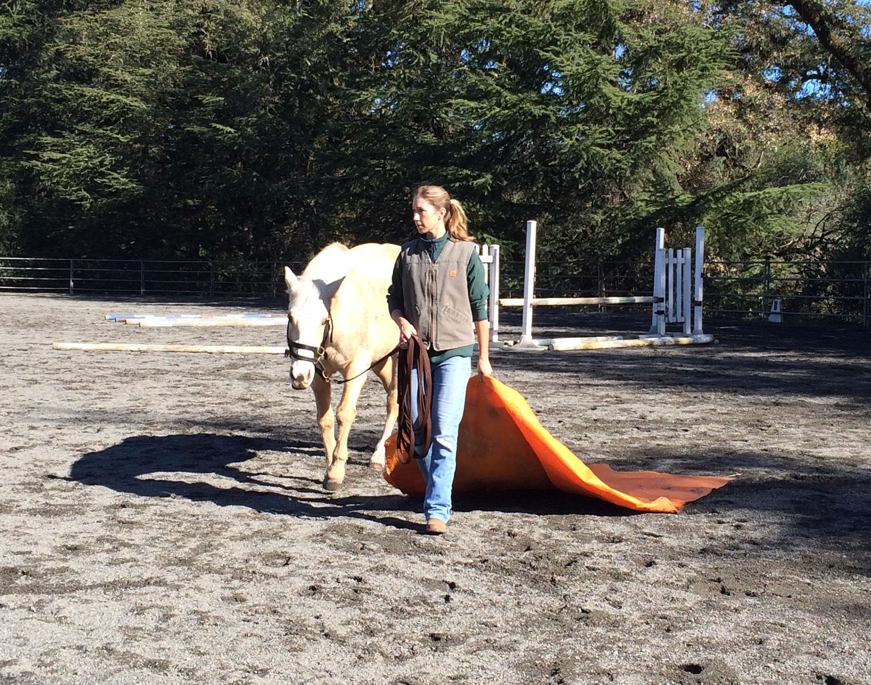 "Desensitizing ""Diamond"" to the dragging tarp, Blue Horse Rescue 2015."
