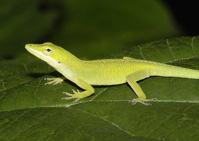 Yellow-and-green-Anole.jpg