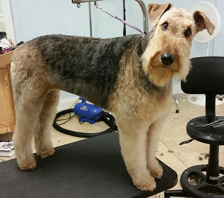 Charlie - Airedale