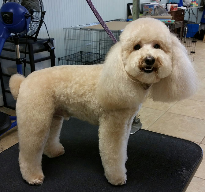 coco = toy poodle