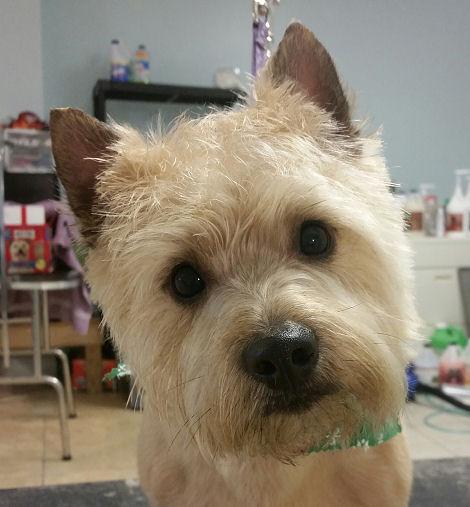 Hashbrown - carin Terrier