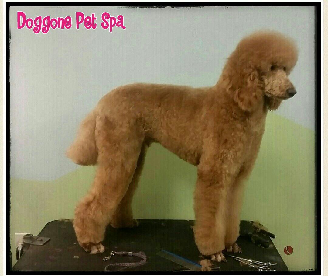 Nick - Standard Poodle