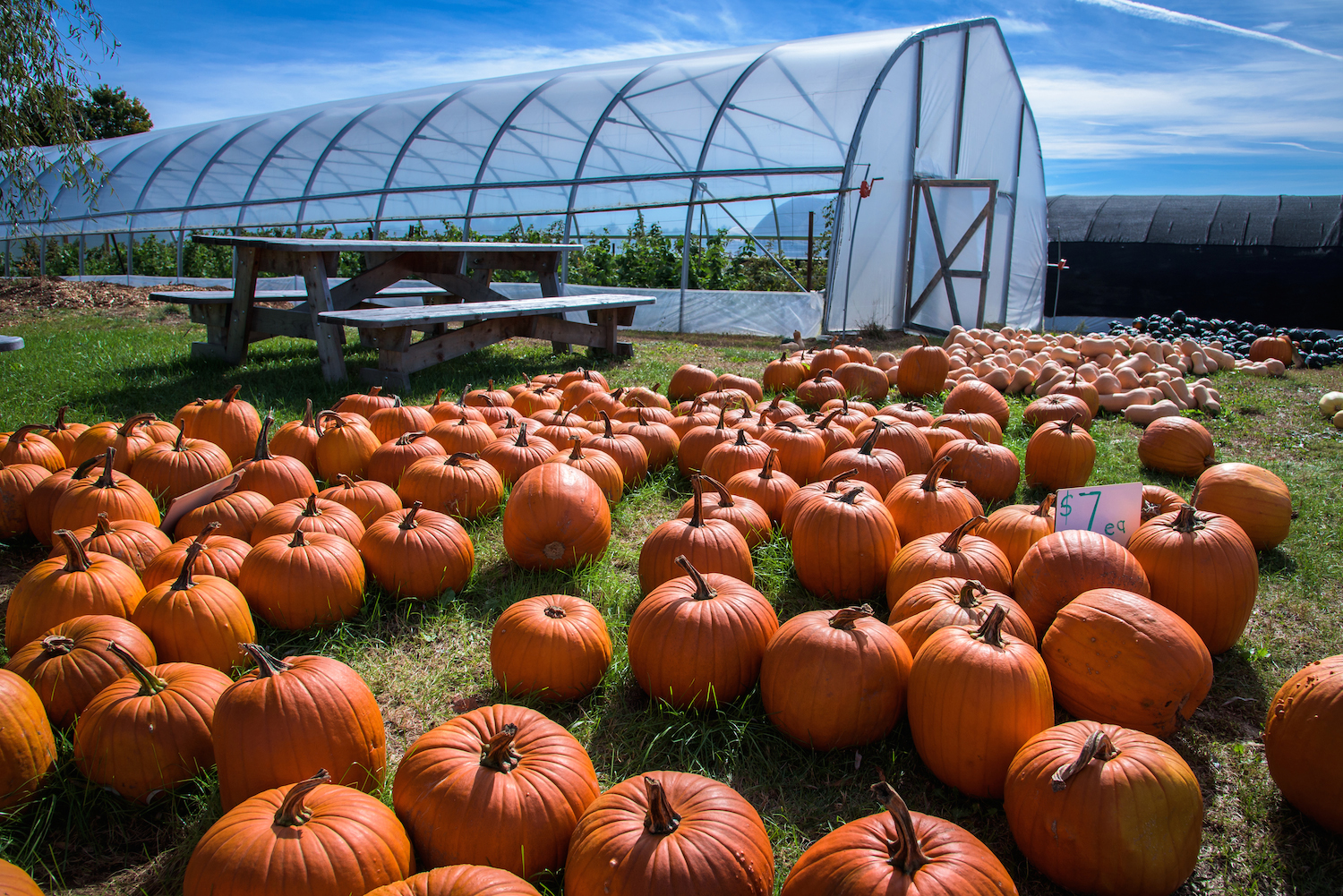 Pumpkins for sale at Orchard Ridge Farm in Gorham.