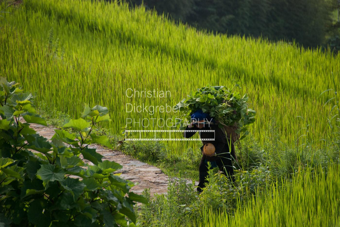 Rice Field in Yunnan