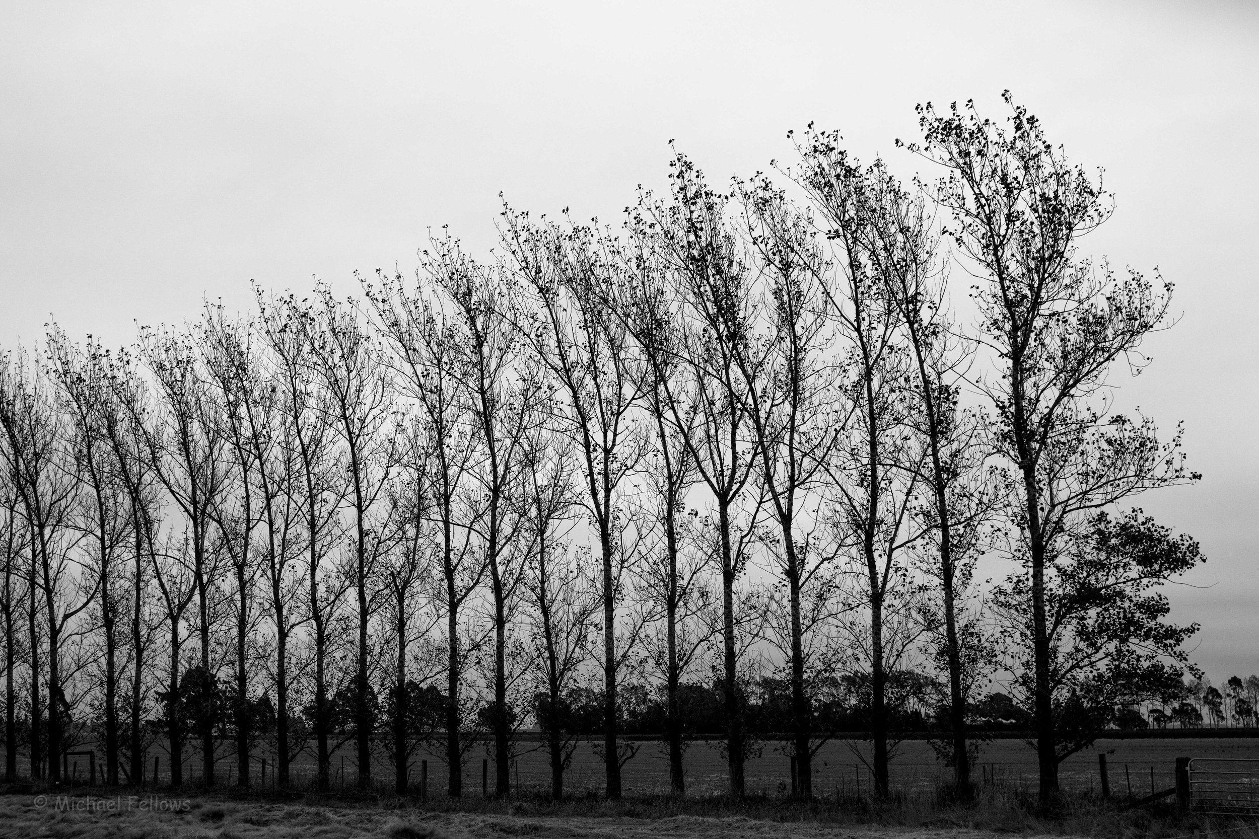 Poplars, dawn, outside Methven