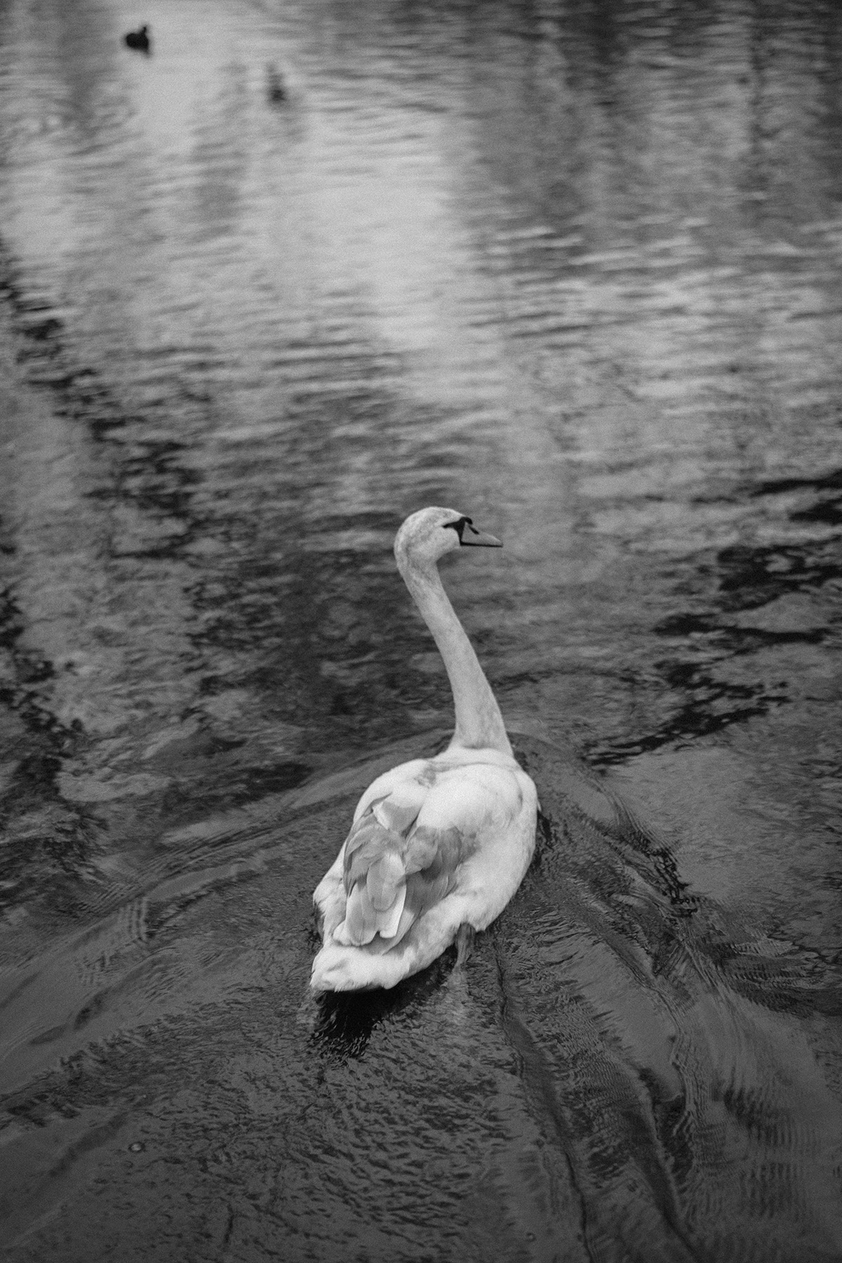 swan-lake-black-and-white-patricia-martins-yellowish-2019