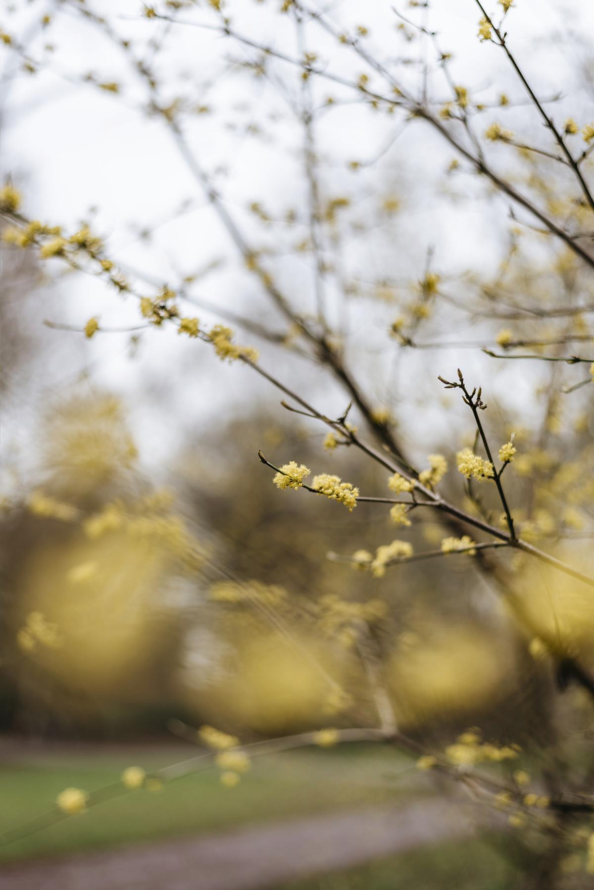 yellow-spring-blossom-spicebush-benjaminbush-patricia-martins-yellowish-2019