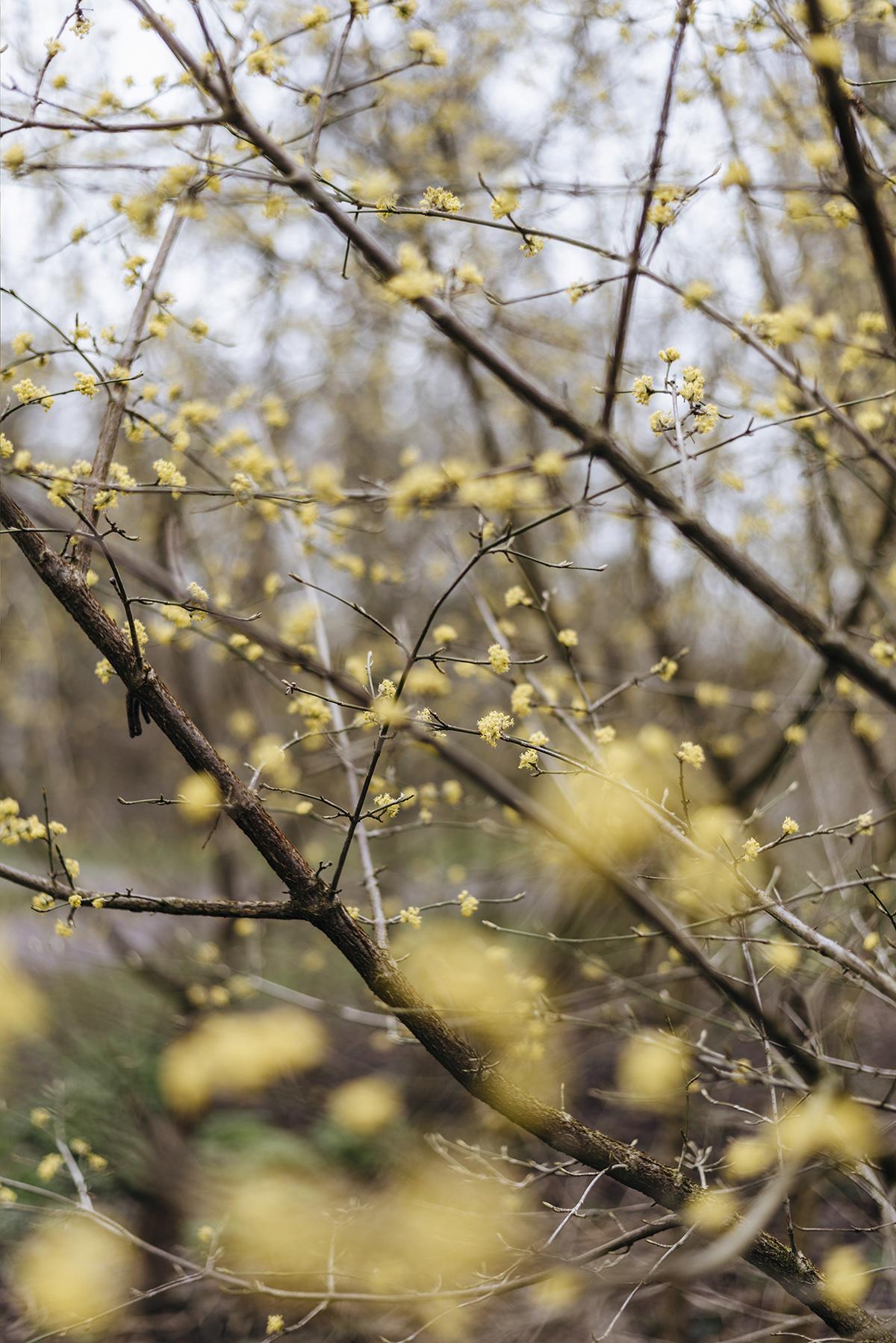yellow-spring-blossom-benjaminbush-spicebush-patricia-martins-yellowish-2019