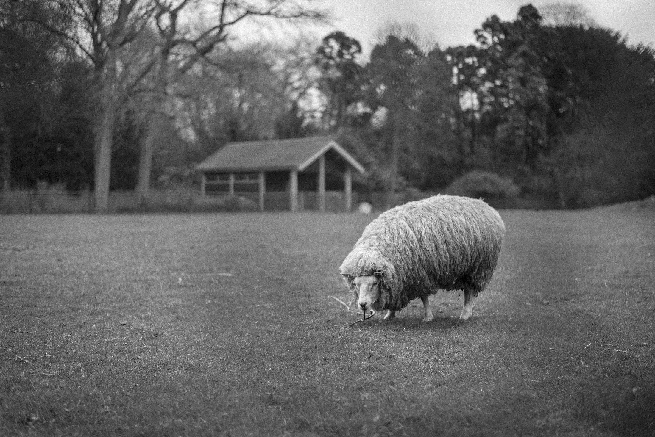 black-and-white-sheep-countryside