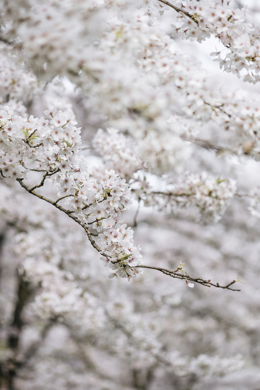 sakura cherry blossom flowers spring