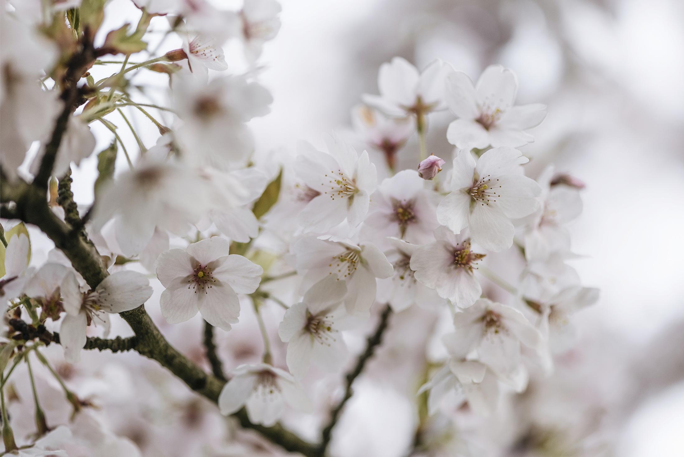 sakura cherry blossom spring flowers