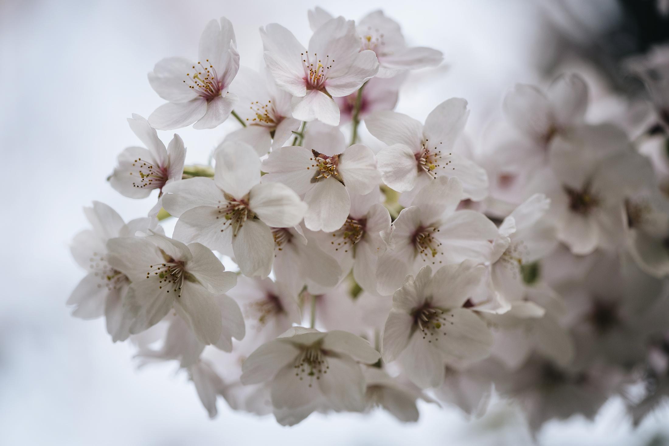 macro sakura cherry blossom flowers spring