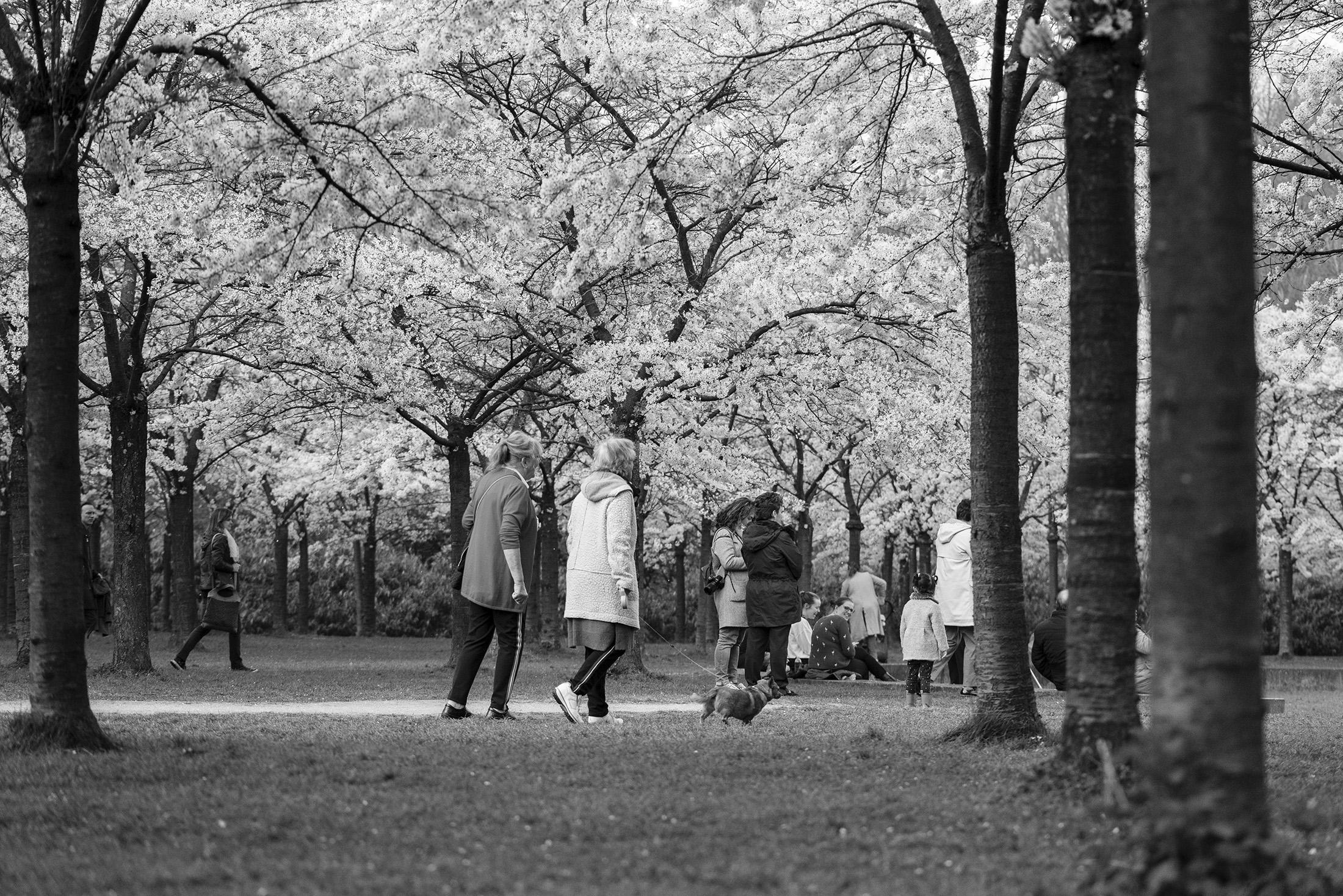 hanami sakura cherry blossom spring people park