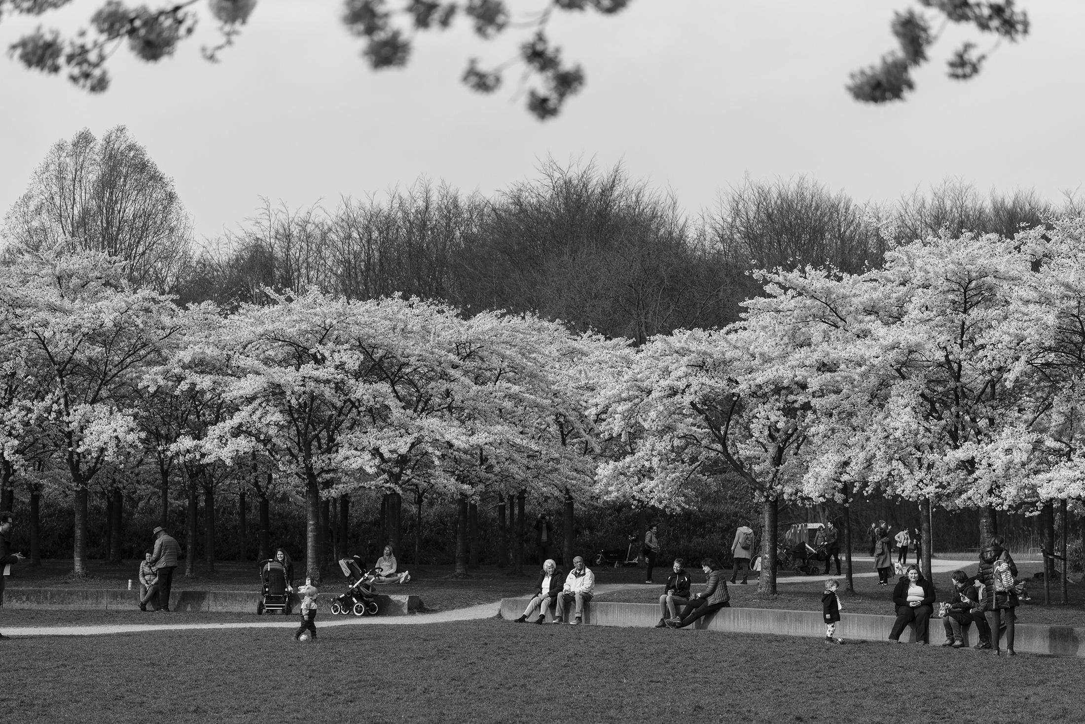 hanami sakura cherry blossom spring flowers