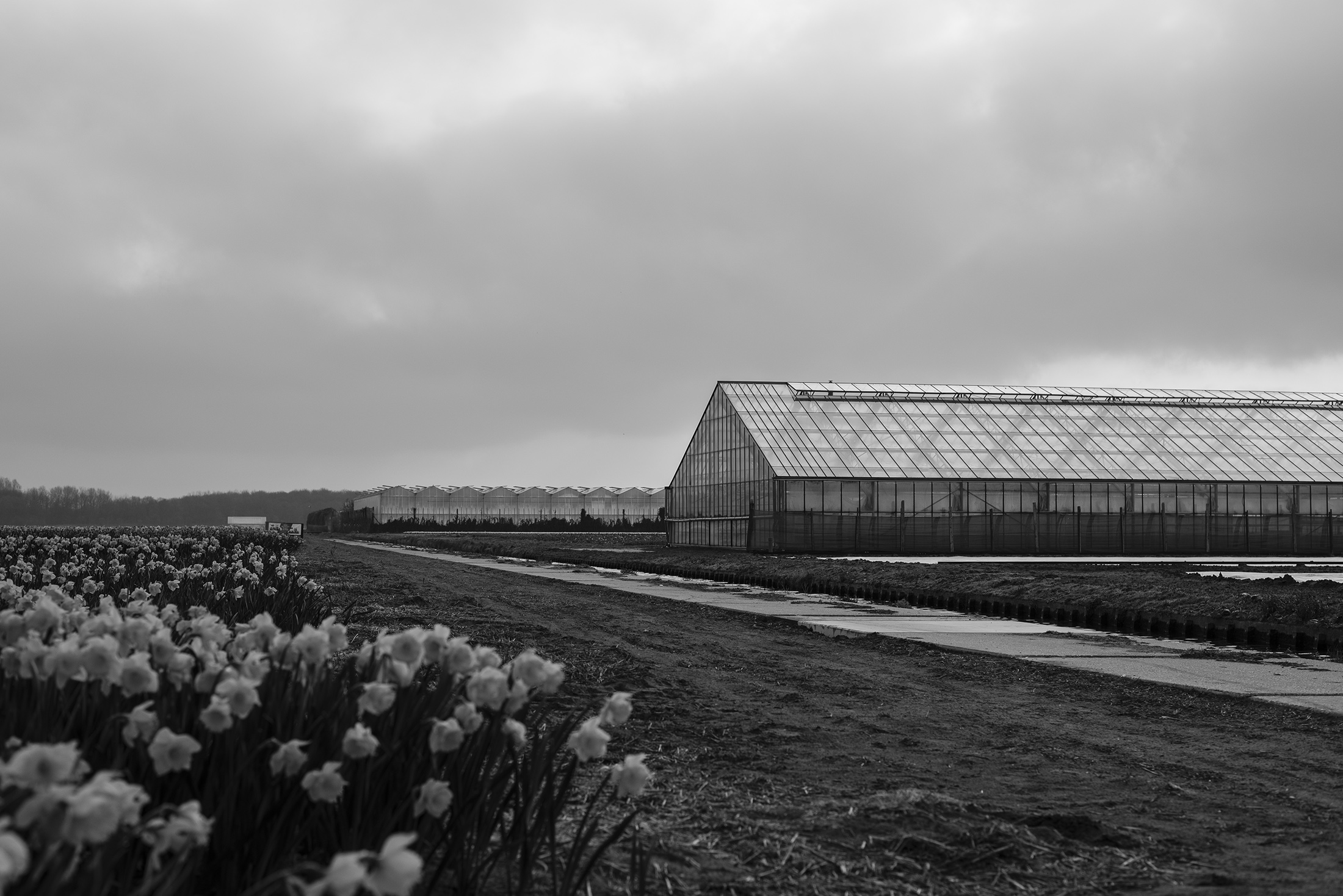 flower fields black and white photograph Netherlands