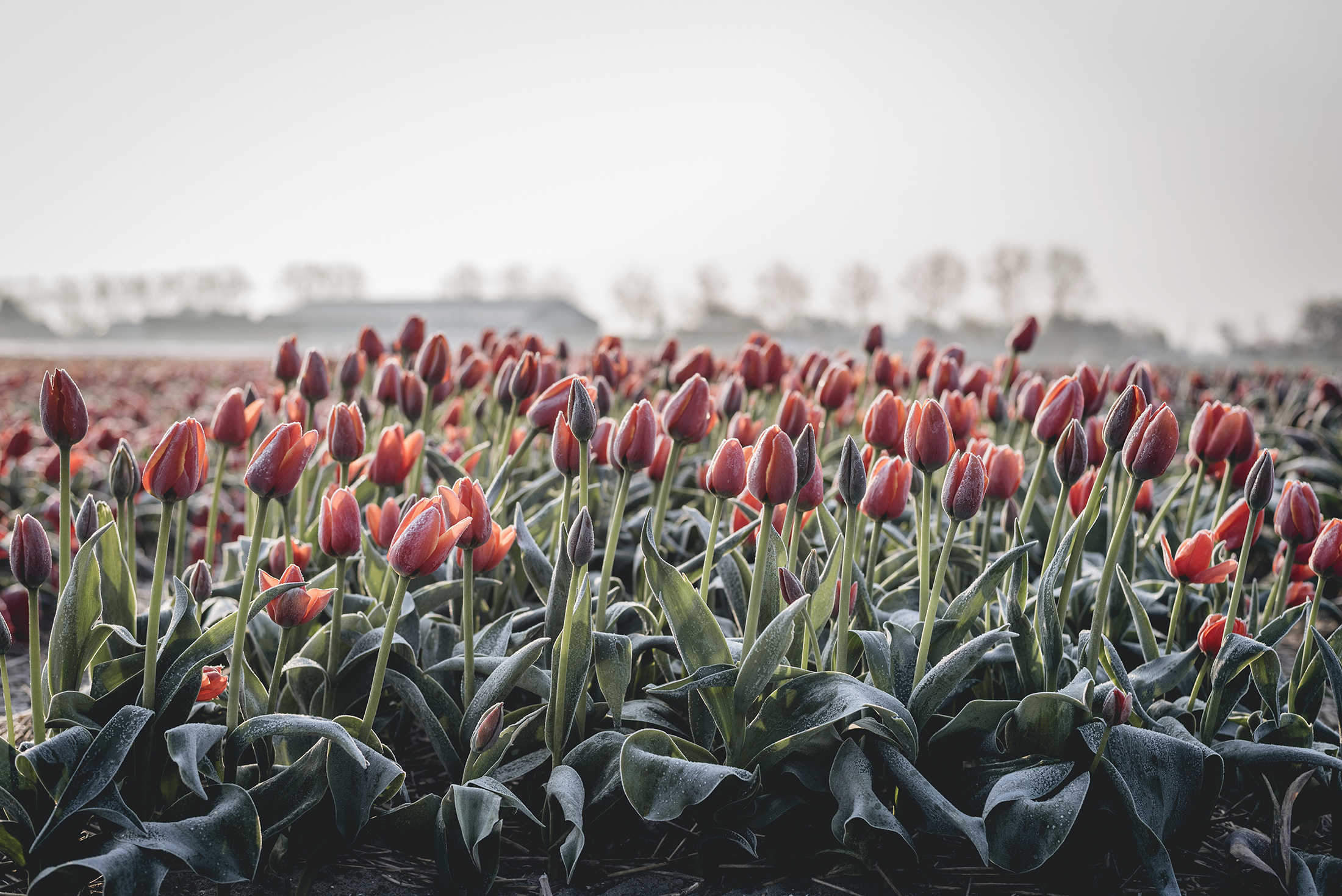 red tulips flower fields Netherlands Spring early morning