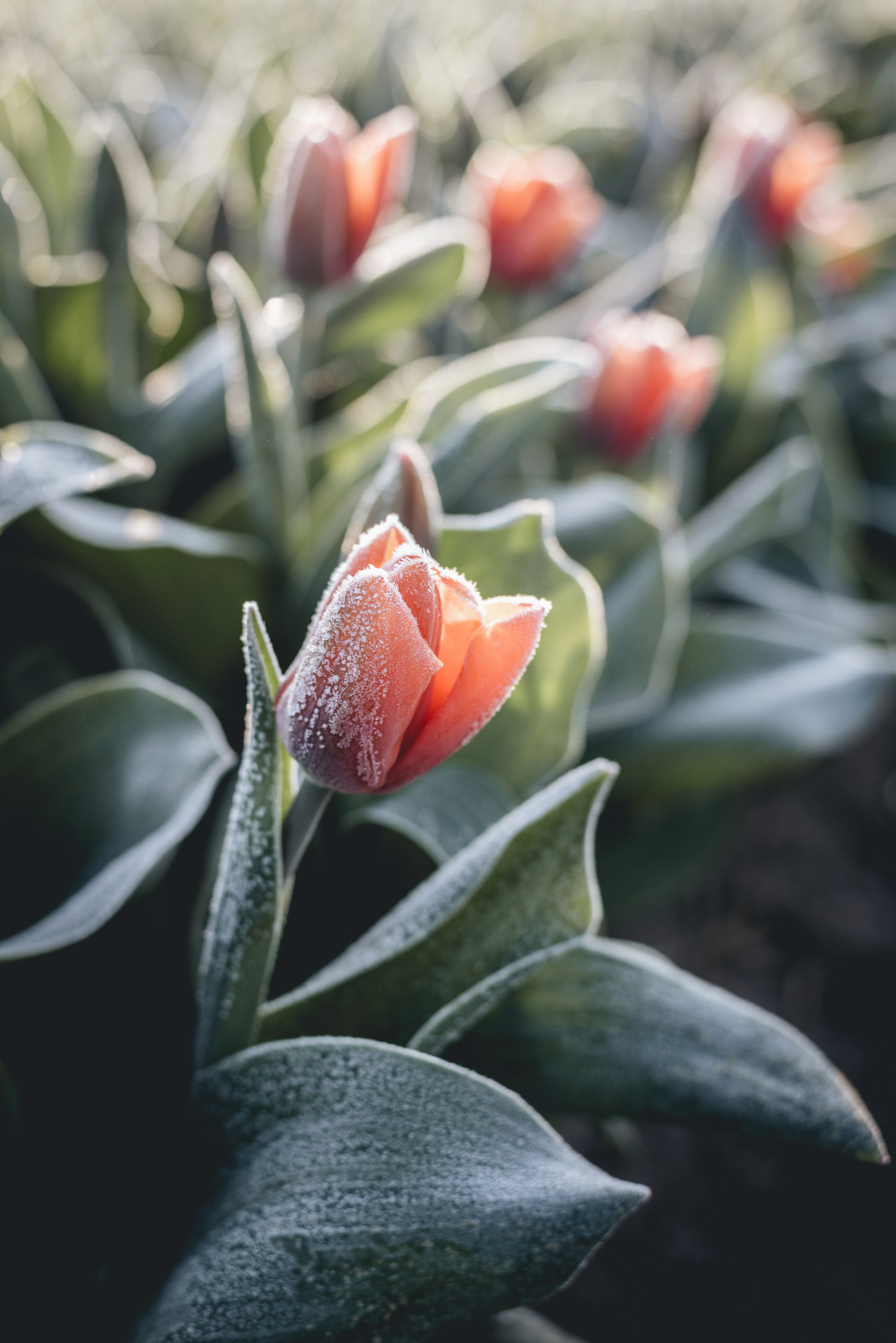 red tulip with frost Netherlands flower fields spring