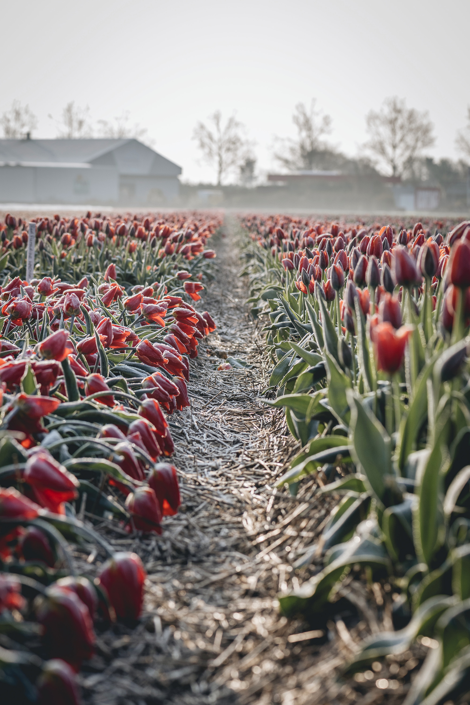 red tulips Netherlands early morning spring frost