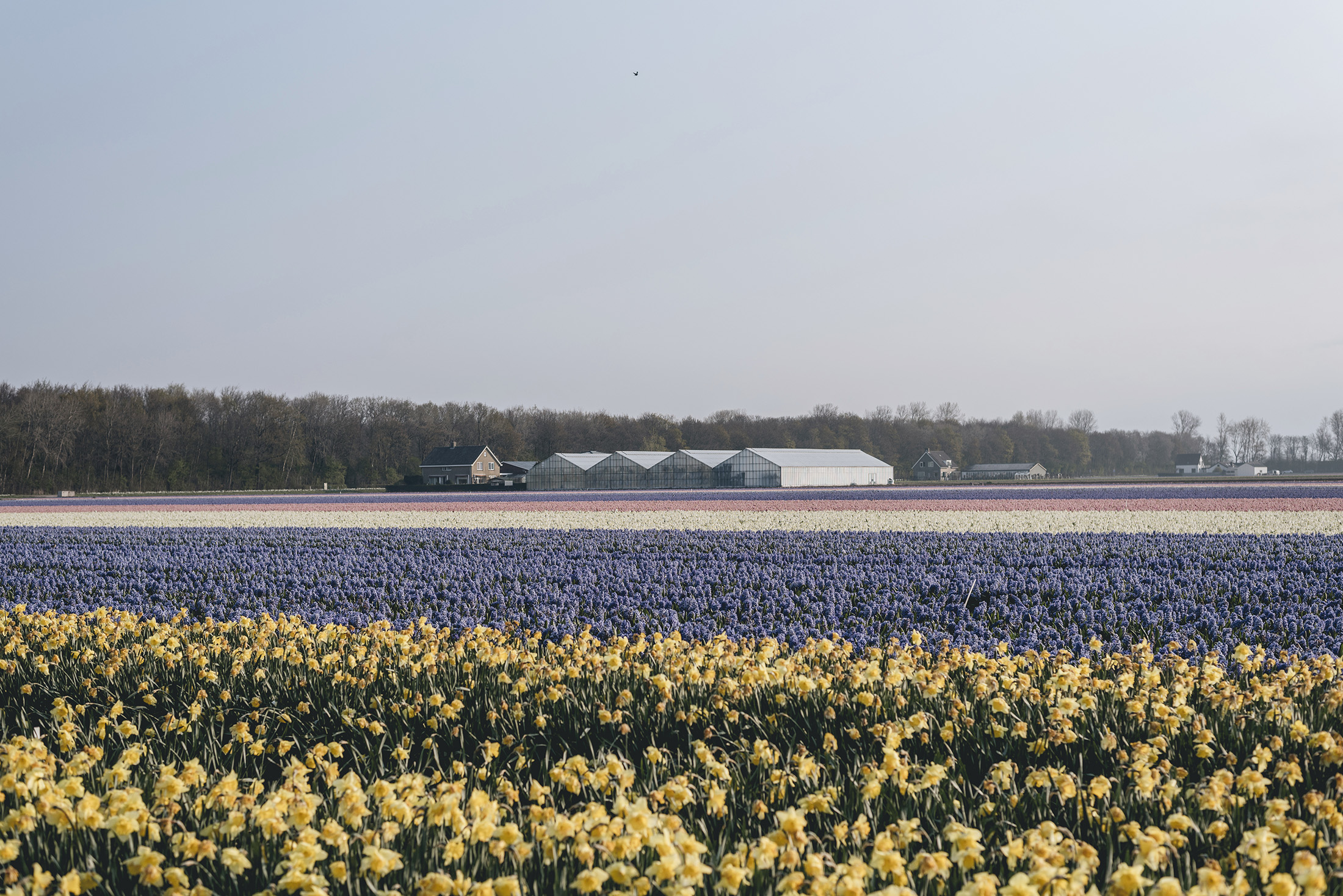 flower fields Lisse Netherlands Spring