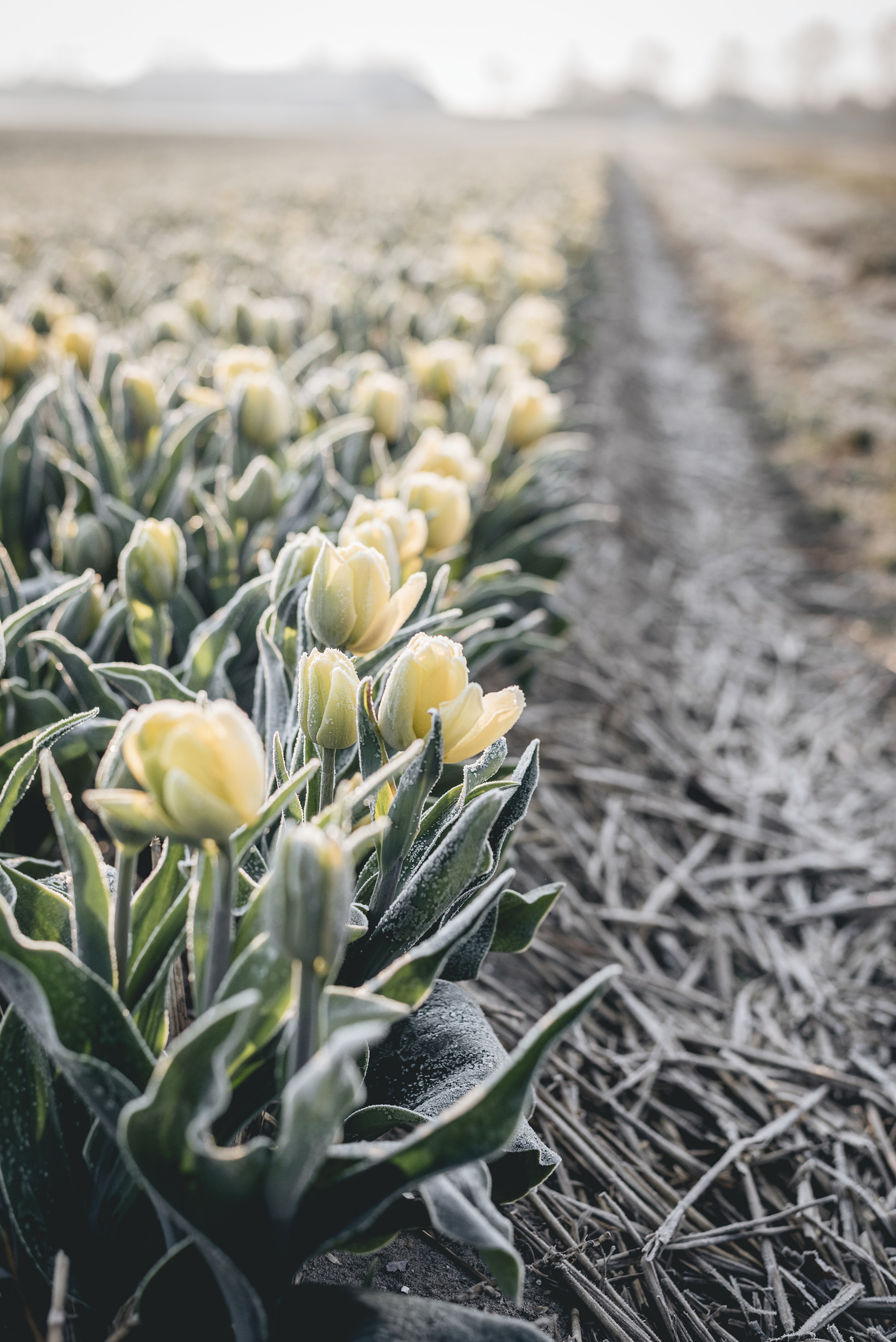 yellow tulips flower fields Netherlands Spring sunrise frost morning