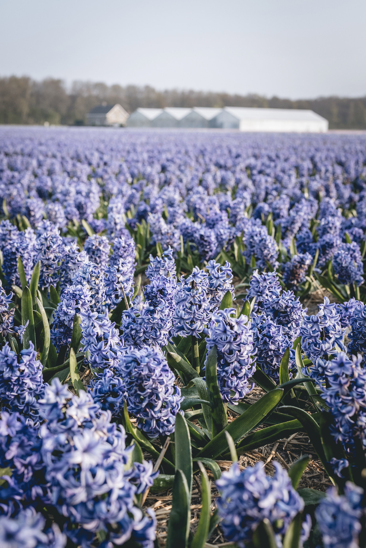Hyacinthus flower fields Lisse Netherlands Spring