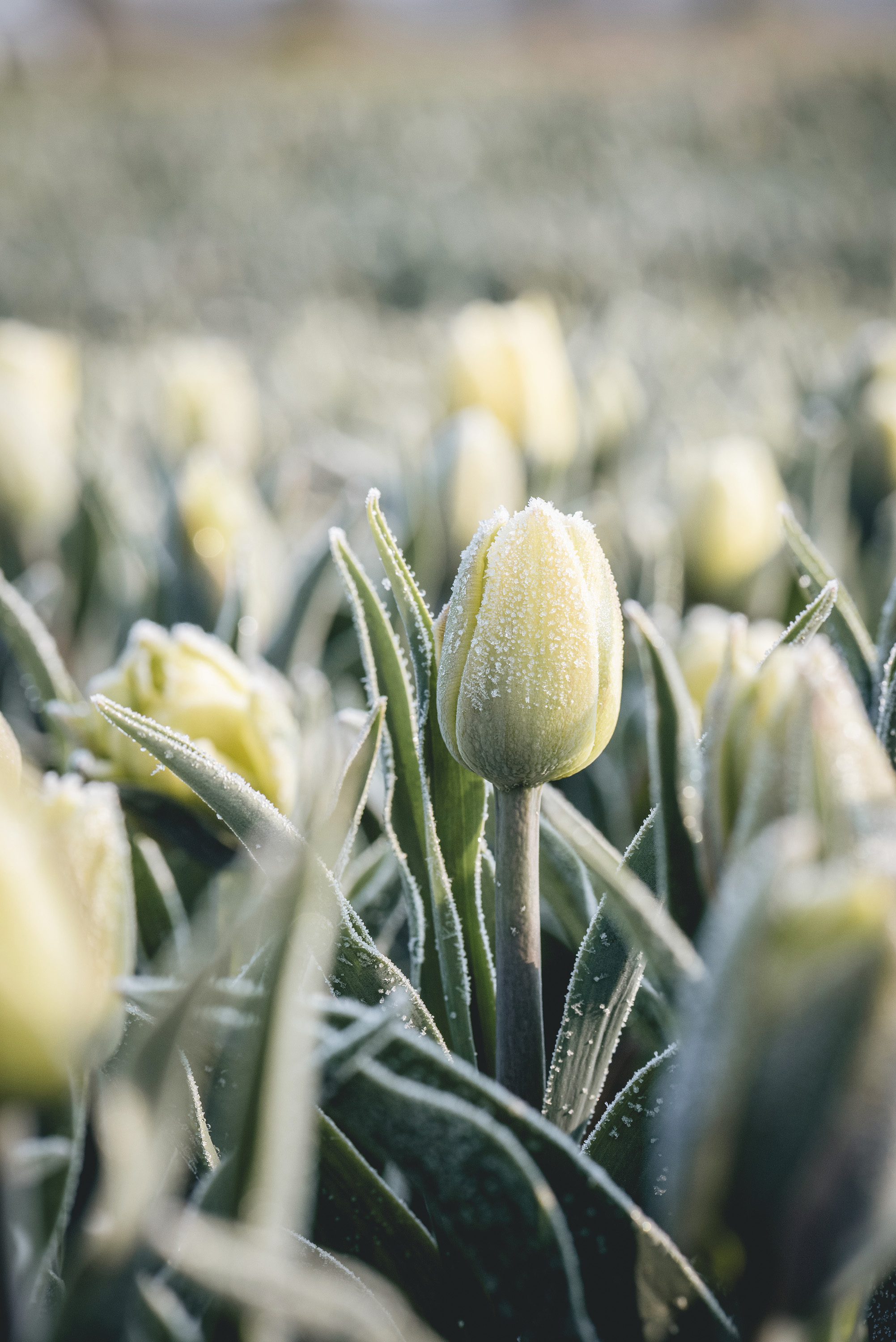 yellow tulip with frost Netherlands flower field spring
