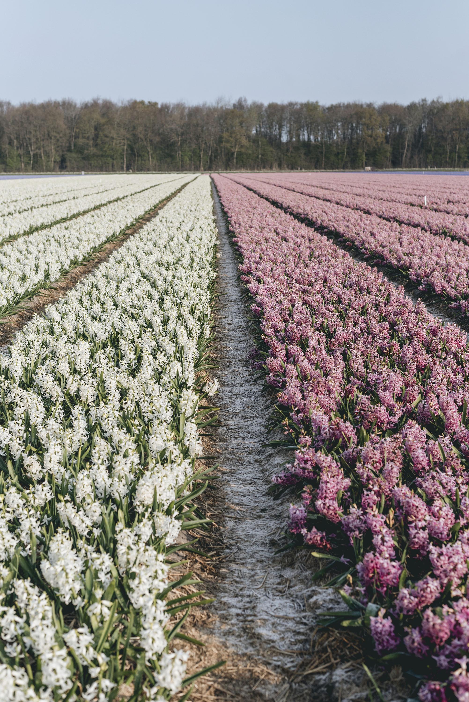 flower fields Hyacinthus Netherlands Lisse Spring