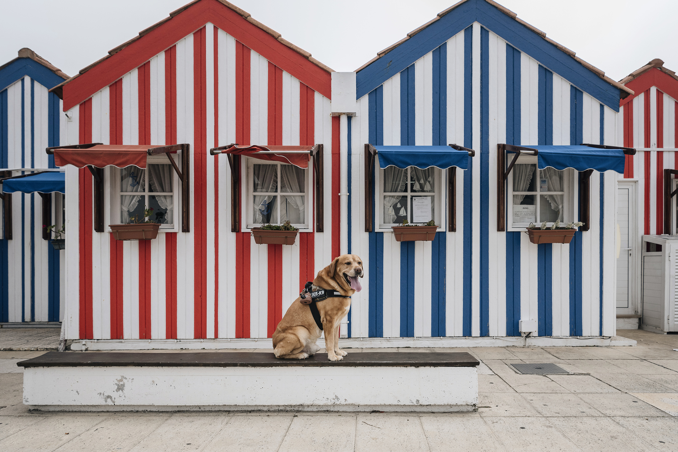happy dog striped houses traditional from Costa Nova Aveiro Portugal