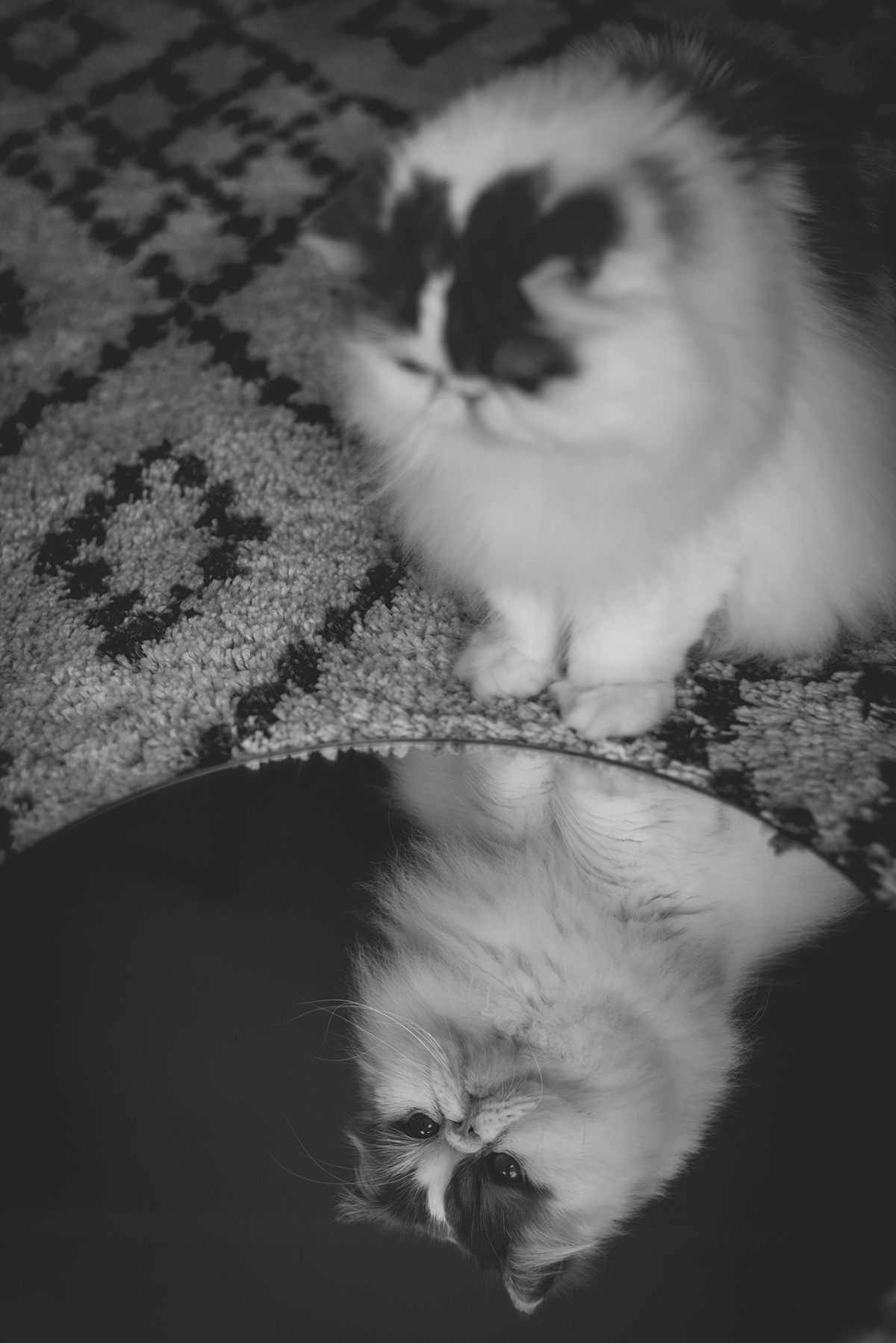 mirror persian cat