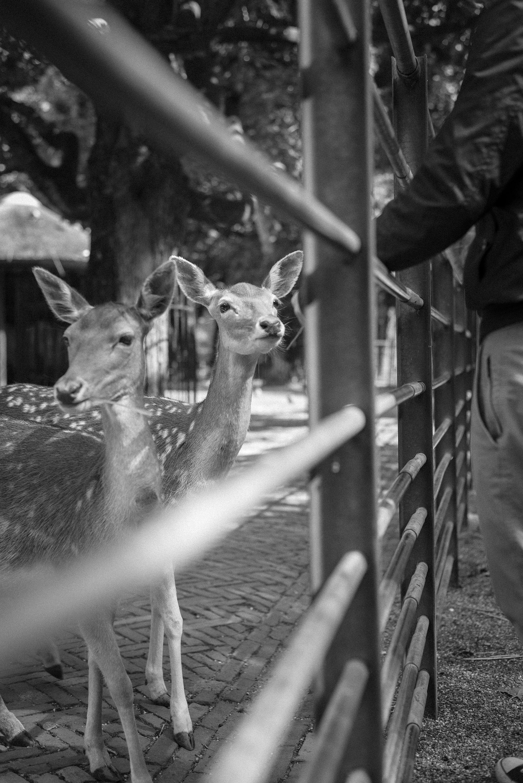 deer bnw photography street park