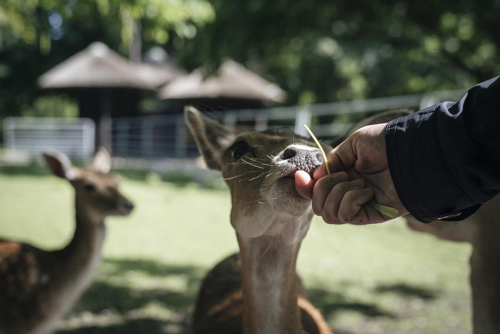 feeding deer park nature